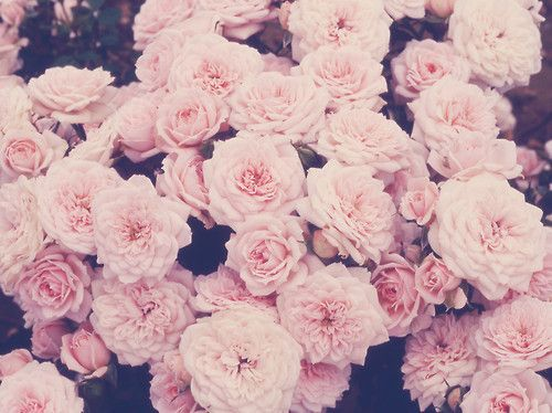 via Minoo Design: Flowers Photography, Pink Flowers, Pastel Pink, Dusty Pink, Pastel Flowers, Pink Rose, Dusty Rose, Vintage Rose, Floral Tattoo