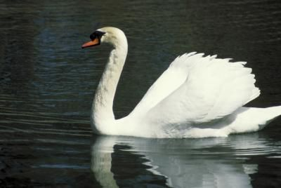 the mute swan essay Wildlife issues or other environmental issues should be resolved based on public opinion as  the mute swan population in massachusetts is derived from individuals.