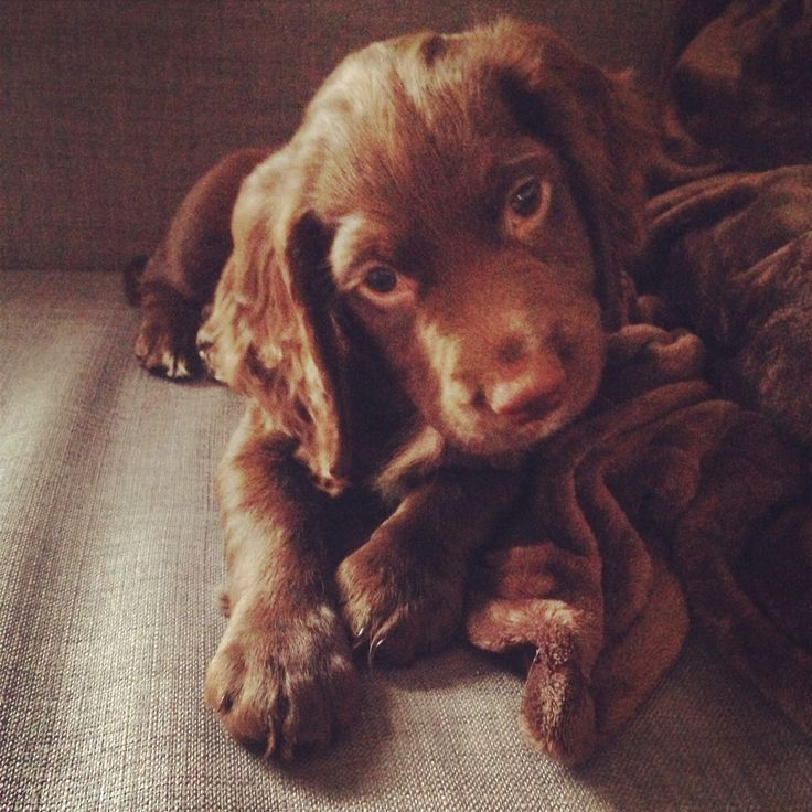 Sprocker puppy #truebeauty