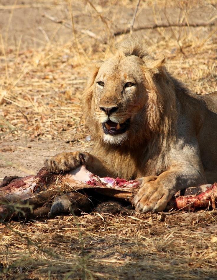 man eaten by lion - HD3456×4455