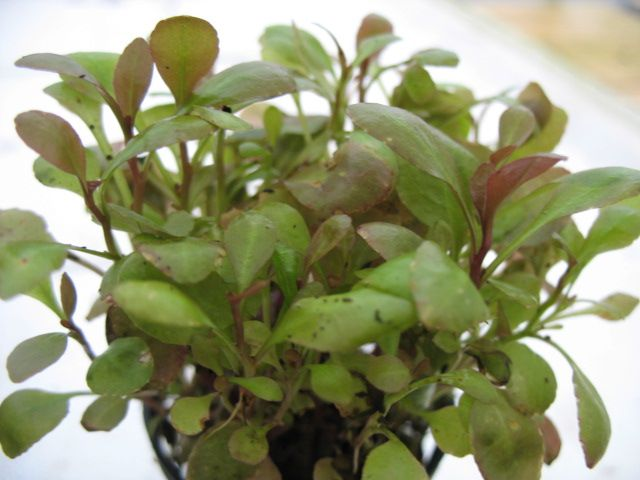 Online store of carpet aquarium plants