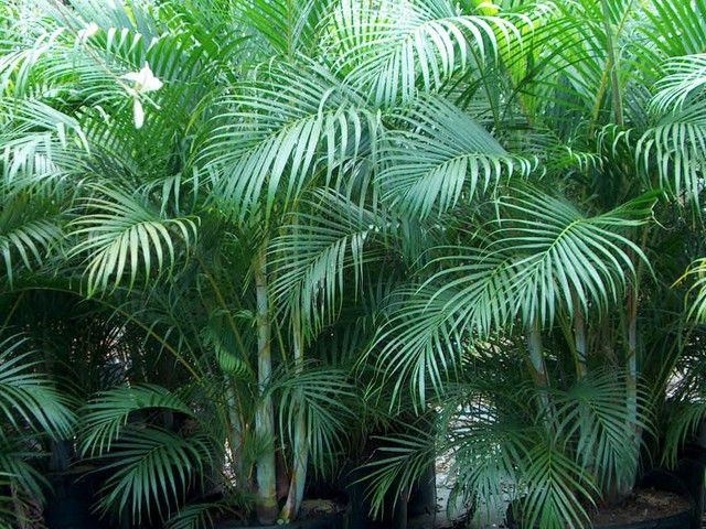 The Areca palm is a low maintenance plant and a fast grower, which would also be perfect to add a tropical touch to one's yard. I had a bunch of these in Hawaii.