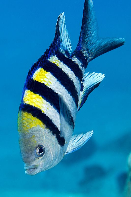 14 best Fish in Bahamas images on Pinterest | Coral reefs, Snorkeling and Tropical fish