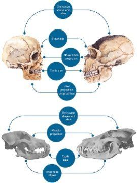 Human 'self-domestication' is a hypothesis that states that among the driving forces of human evolution, humans selected their companions depending on who had a more pro-social behavior. Modern humans, when compared to Neanderthals, present a more gracile phenotype that resembles the one seen in domesticates when compared to their wild-type cousins. The overlap could explain our special mode of cognition and why we are strikingly cooperative.