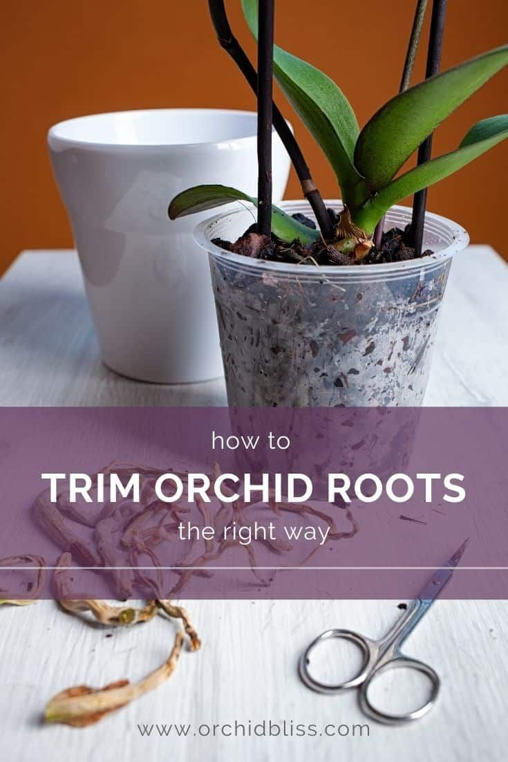 Trimming Orchid Roots The Complete Guide In 2021 Orchid Roots Orchids Growing Orchids