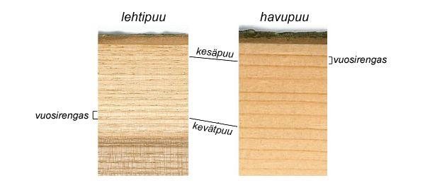 Kevät- ja kesäpuu - Puun rakenne - PuuProffa
