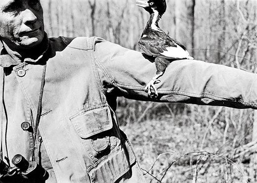 tanners photos of the ivory billed woodpecker show the bird as delicate but lively