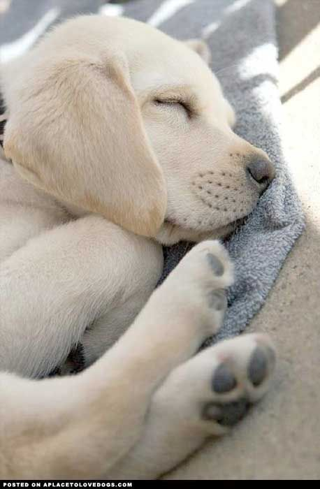 Sleeping Lab Pup