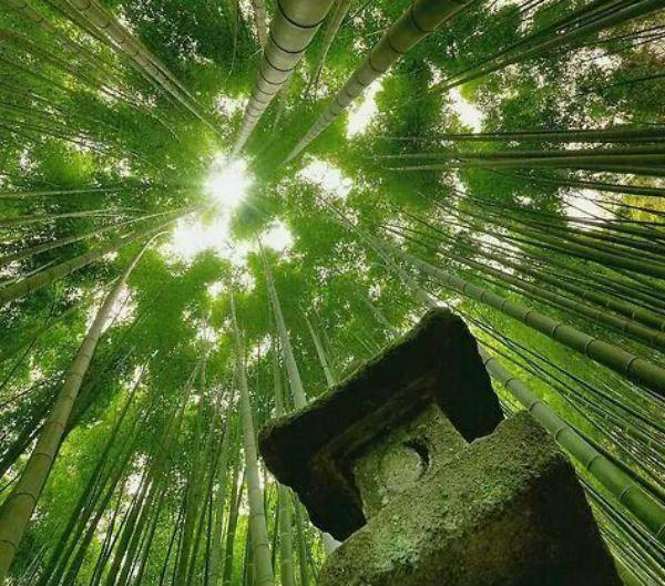 El bambú es un arma poderosa contra el cambio climático La avenida Bambú se extiende por cuatro kilómetros en el distrito jamaiquino de St. Elizabeth, flanqueada por enormes plantas de bambú que se elevan por encima de la calle y se cruzan en el centro para formar un túnel de sombra.  El bambú forma parte de la cultura de Jamaica desde hace miles de años