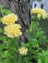 The Chrysanthemum   All Saints' Flower. Chrysanthemums in general are associated with death and are used at funerals and to adorn graves (Chrysanthemum coronarium is believed by scientists to have been present when Christ was laid in the tomb.