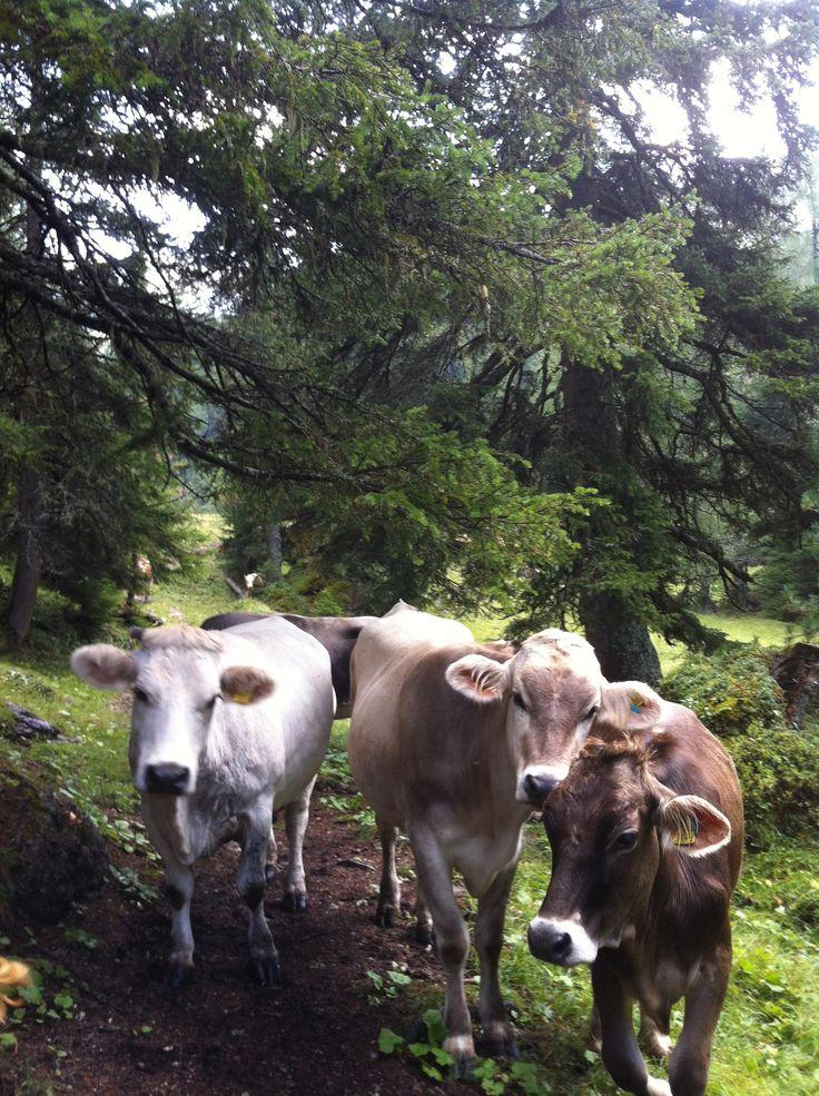 Malga Valparola, le mucche all'alpeggio. Alta Badia Dolomiti