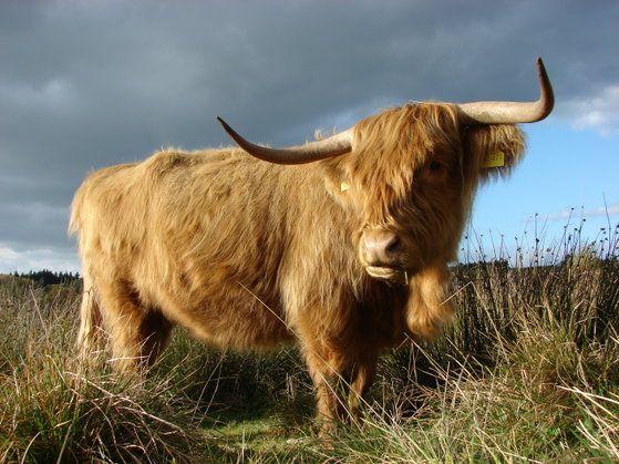 highlandcattle - highlandcattle - Hier entsteht mit Web-Gear eine neue Webseite! - Schottische Hochlandrinder