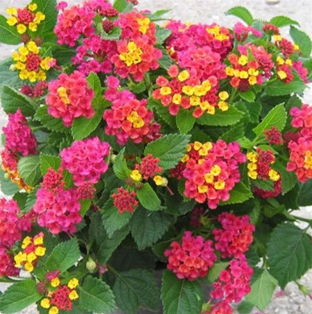Lantana, one of my new favorite annuals. I love the pink-orange-yellow combo.
