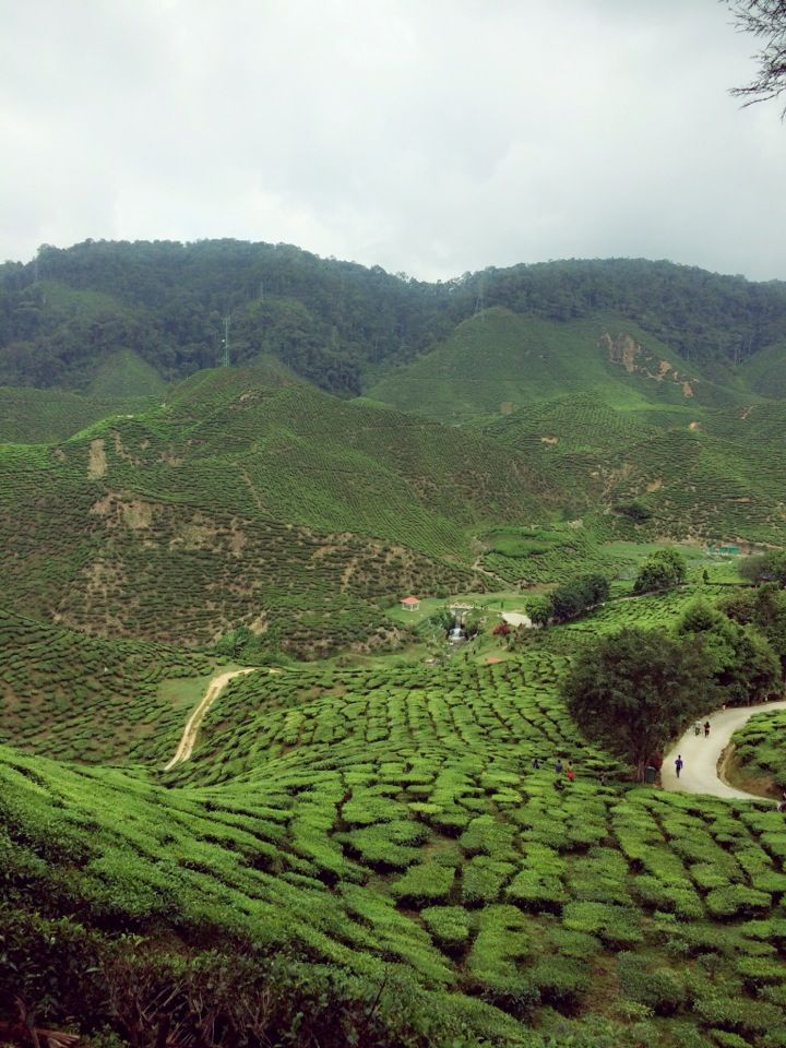Cameron Valley Tea Plantations in Tanah Rata, Pahang