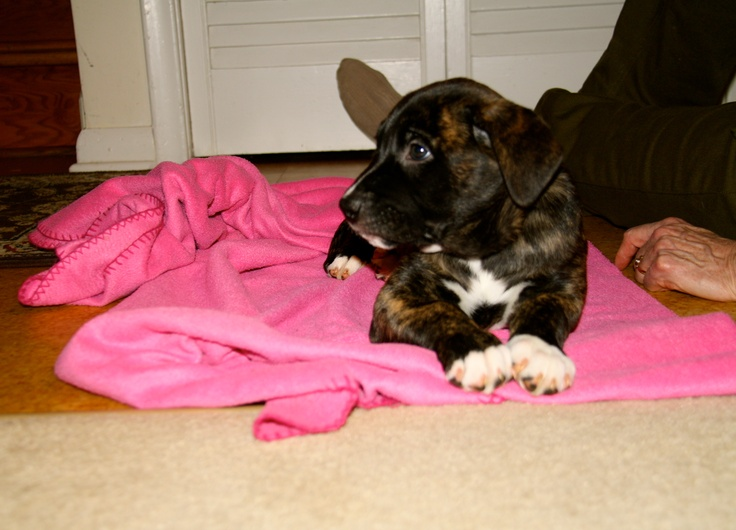 An adorable Boxador puppy :) Ella has brindle, black, & white just like this.