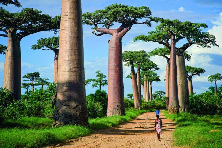 La Avenida de los Baobabs en Madagascar: Este sendero de altísimos árboles baobabs delimita el camino de tierra en la región Menabe de Madagascar y se ha convertido en uno de los puntos turísticos más populares en el área.