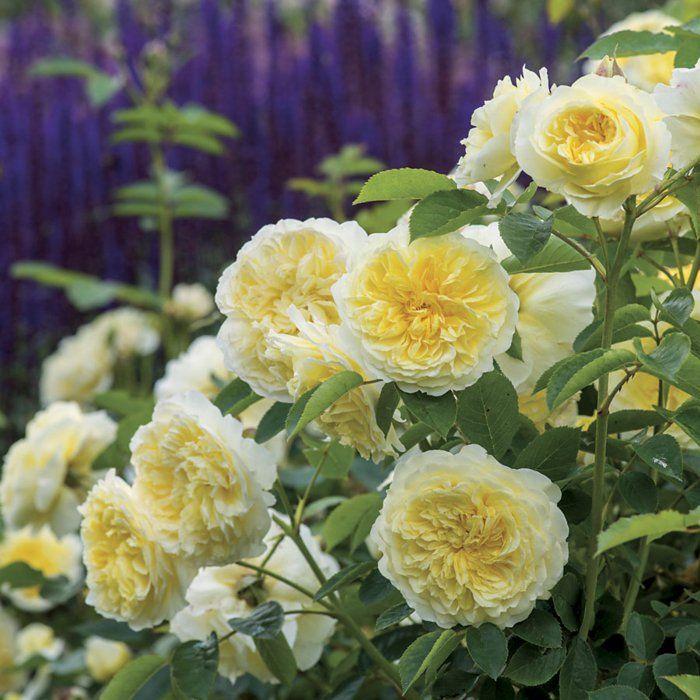 rosensorten englische rosen die schönsten blumen