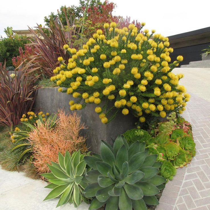 One of our landscape projects displaying a beautiful specimen of Leucospermum 'High Gold'. This yellow 'pincushion plant' is relatively hard to find, so grab them when you see them. Other plants in the photo are Agave 'Kara's Stripes', Agave 'Blue Flame', Euphorbia 'Sticks on Fire', Phormium 'Guardsman', and Leucodendron 'Safari Sunset'.  http://rogersgardenslandscape.com/