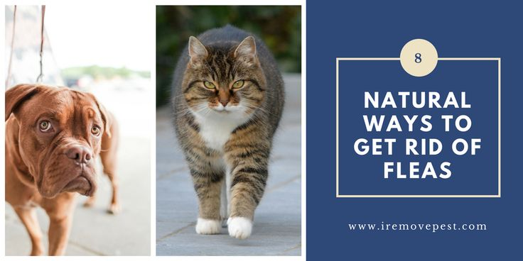 8 natural ways to get rid of fleas on dogs cats and in
