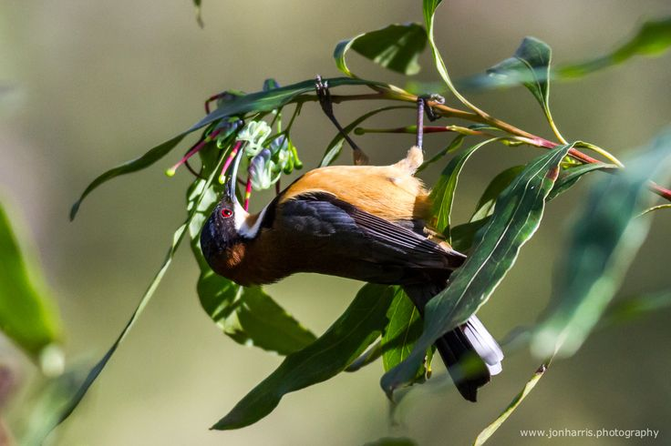 Eastern spinebills are quick little birds – zipping from one flowering shrub to the next, never seeming to stand still. Their long curved beaks are perfect for dipping into some of the deeper native flowers to reach the nectar inside. | Jon Harris