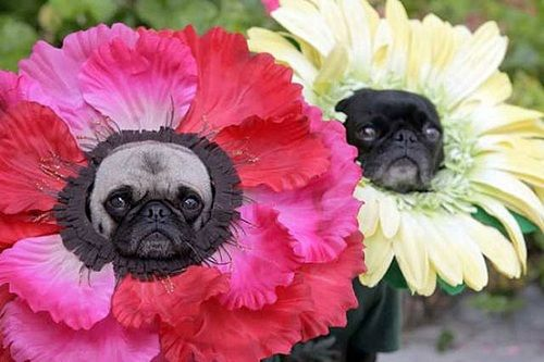 Pugs In Flower Costumes. They look happy!