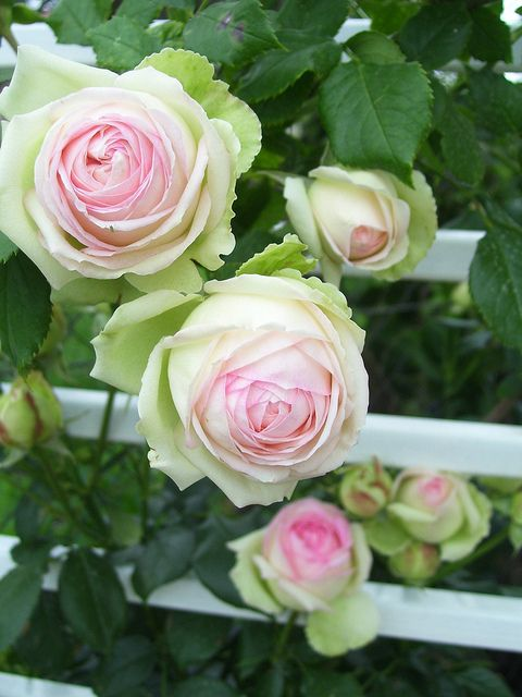 Eden Rose climbing rose. Although not super fragrant, the green-cream-pink shades and cut flower abilities make this rose a standout.