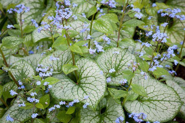 Brunnera Macrophylla 'Jack Frost' , Brunnera 'Jack Frost', Siberian Bugloss…