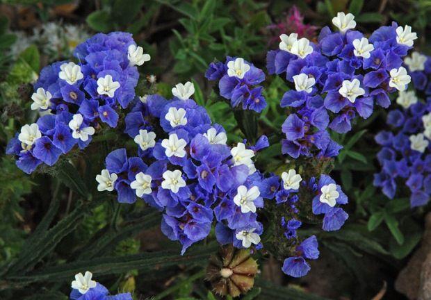 limonium-sinuatum. December flowerr | Hort 330 ID | Pinterest
