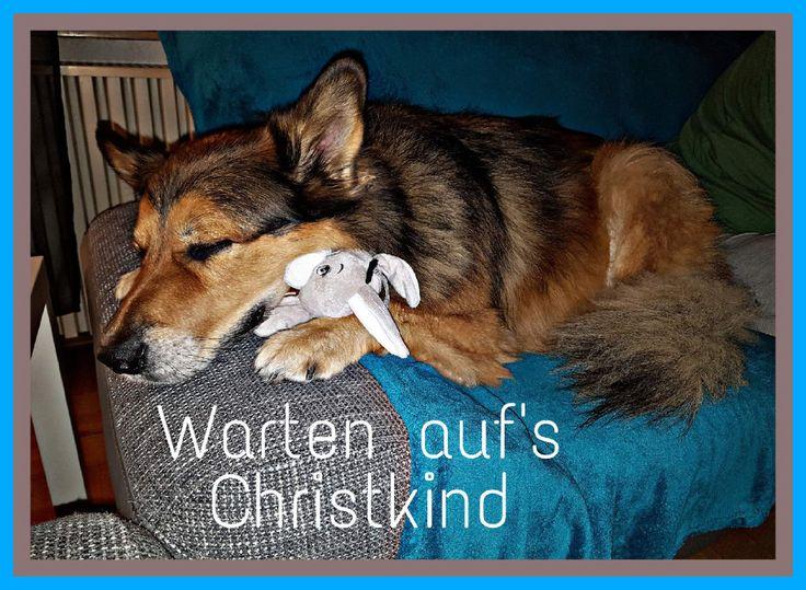 Hunde Foto: Micha und Mogli - X-Mas Hier Dein Bild hochladen: http://ichliebehunde.com/hund-des-tages  #hund #hunde #hundebild #hundebilder #dog #dogs #dogfun  #dogpic #dogpictures