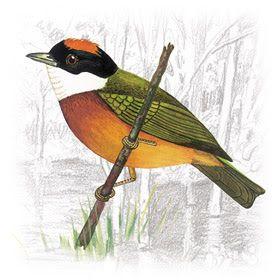 Pássaro Dançarino, Coroa-de-Fogo, Flautim, Tangará e Tangarazinho, Aves da Família Pipridae