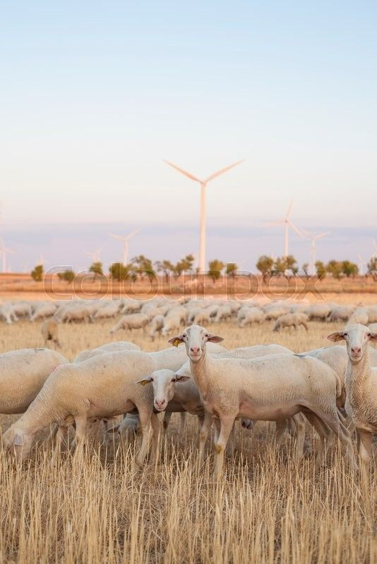 Stock image of 'Flock of sheep grazing at electric wind turbines farm, Spain'