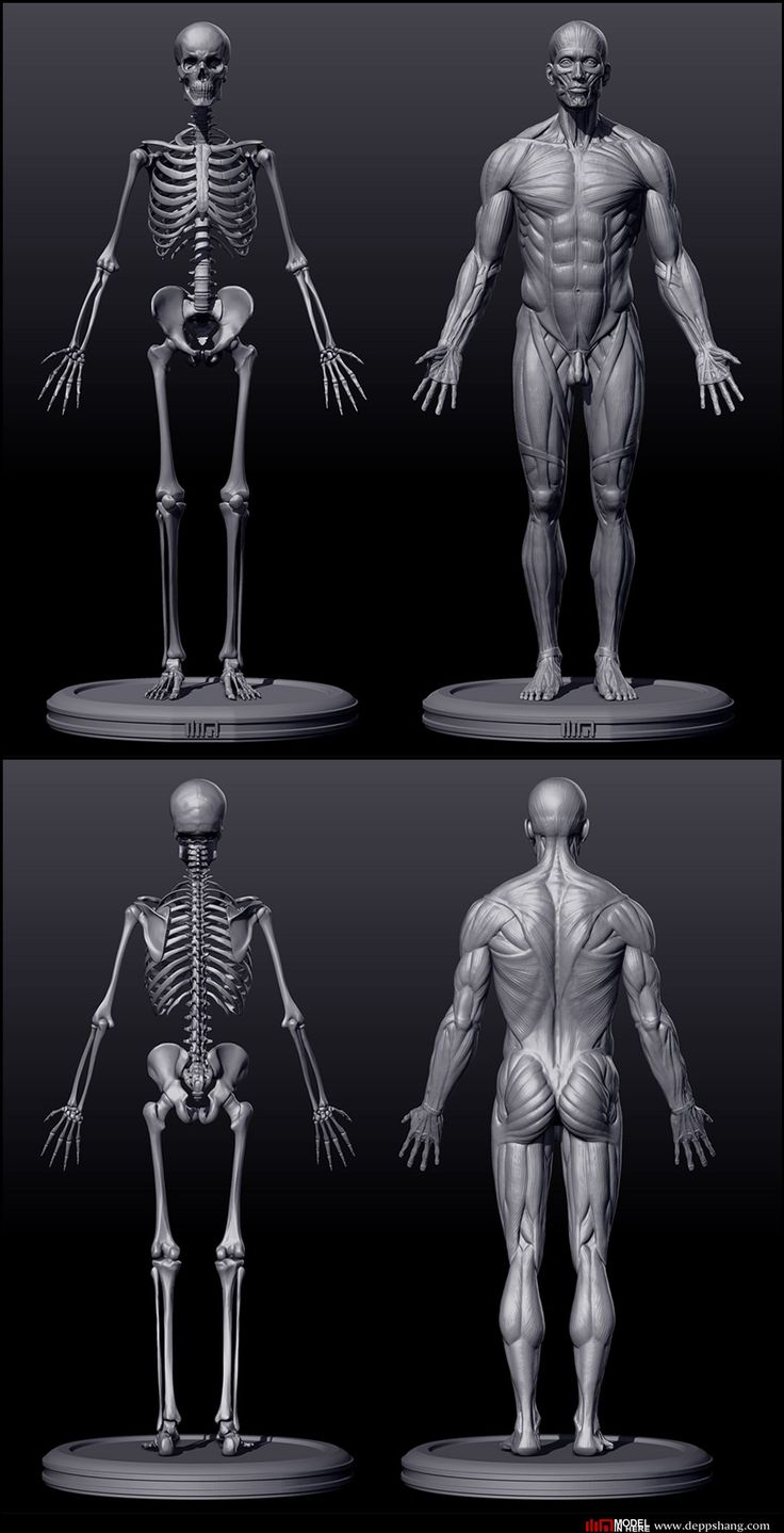 Skeletal and musculature render of an adult male, front and back.