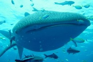10 places to swim with whale sharks [PICs] | Matador Network Matador