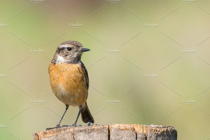 female of Stonechat Saxicola rubicol by Fotoeventis on @creativemarket