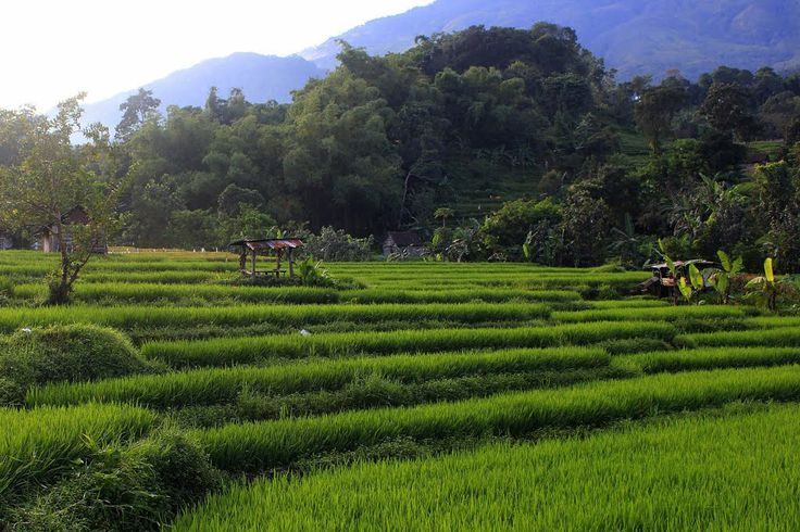 Rice Paddy Field at Pacet, Mojokerto, Indonesia