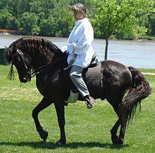 Morgan horse - Wikipedia, the free encyclopedia
