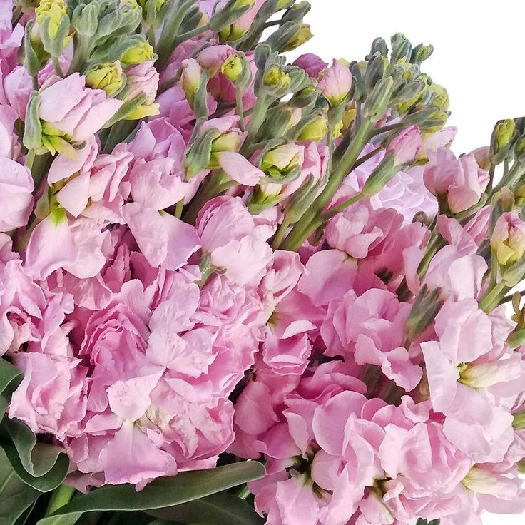 Pink Stock- 80 stems - EbloomsDirect #Stock,#Pink,#roses, #Promo, #Flowers #wedding, #events, #bouquets, #arrangement, #party, #fall, #winter, #summer, #spring, #harvest, #Christmas, #garden, #centerpieces, #autumn, #tropical,#recipes,#decor,#bridal,#floral,#DIY,#gift,,#online,#valentine's,#bride,#floral,#ideas,#blooms,#anniversary, #mothers #day, #baby, ,#gardening, ,#plants, #holidays, ,#fashion, #, #home, #decor, #USA, #Costco, #art, #Texas ,#design, #Sam's ,#bulk, #amazon, #style…