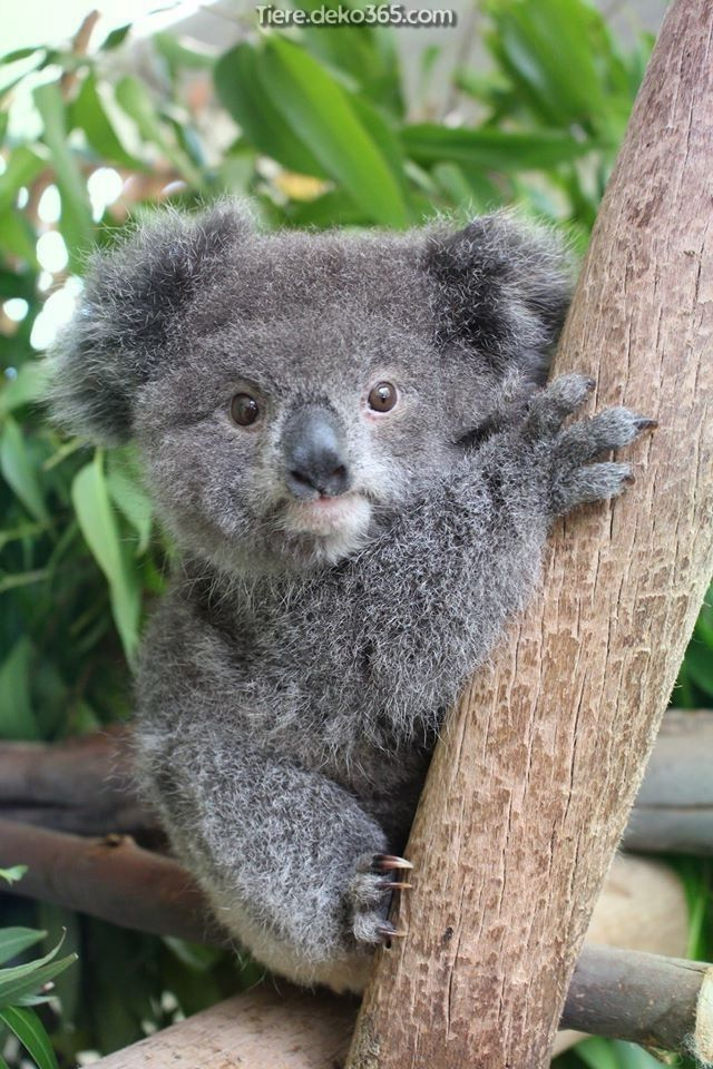 Gemalde Des Bambino Koala In 2020 Australische Tiere Tiere