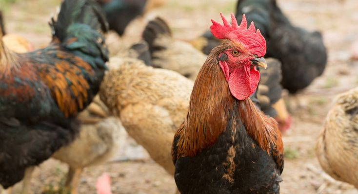 Finally, progress is made towards cage-free in the fast-food industry.