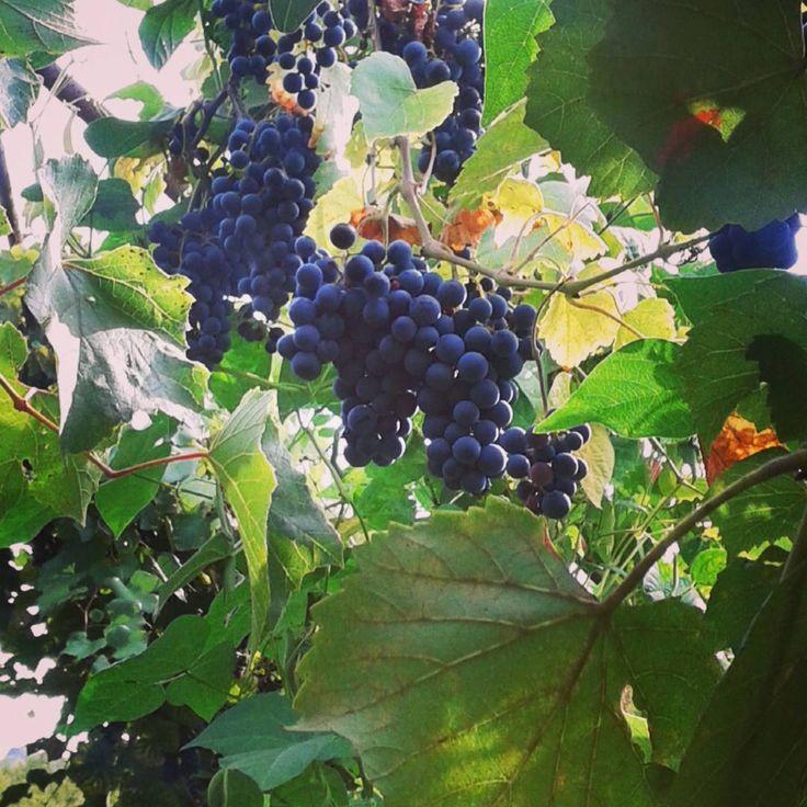 Grapes in September Foto rights: Piergiorgio Rocchini