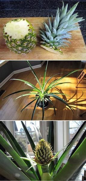 How To:  Grow a pineapple plant from a pineapple top.