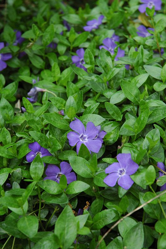 Vinca Plant Reviews - Online Shopping Vinca Plant Reviews on ...