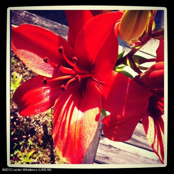 Lucian Mihailescu (LWS.IM) - Staree - Red lily #flower #plant #red #yellow #intercer