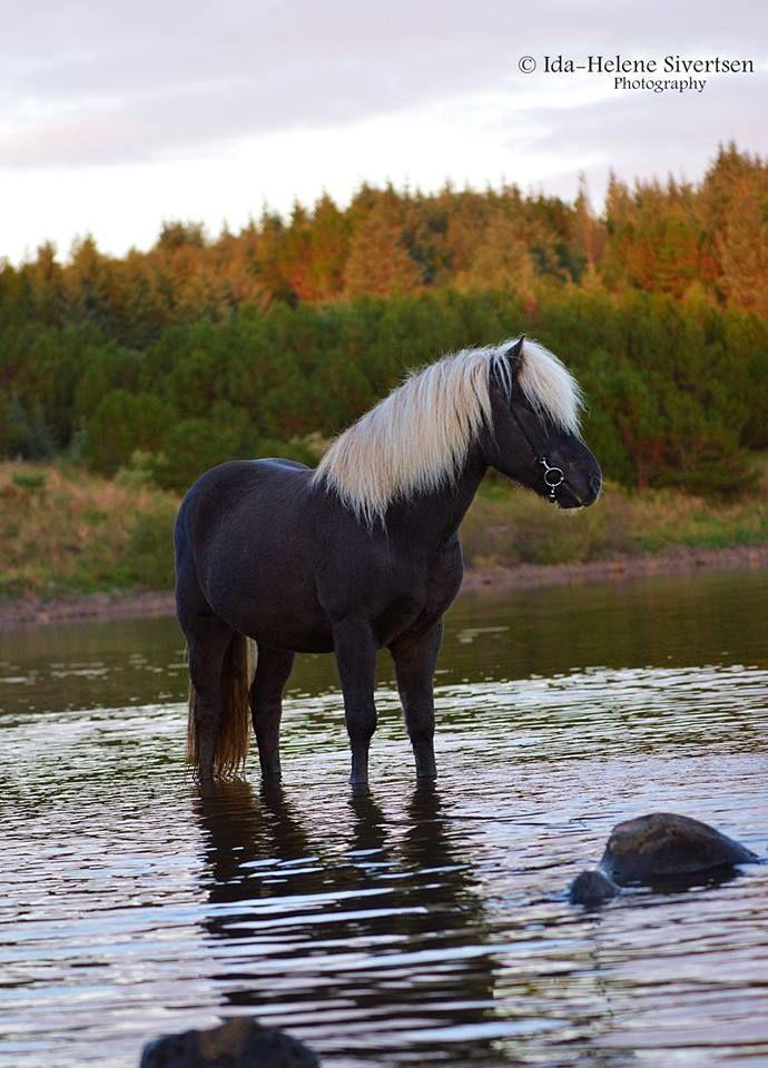 Ungewöhnliches farbiges Pferd, schwarzes Pferd mit einem Whitemane und Schwanz stehen im Bach. Straumur, Isländisch. © ️️ Ida-Helene Sivertsen …