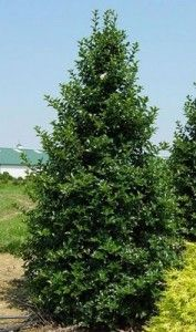 Castle Spire Holly:  8-12 feet tall, 3-4 feet wide, bright red berries, dark green foliage, narrow pyramidal form.