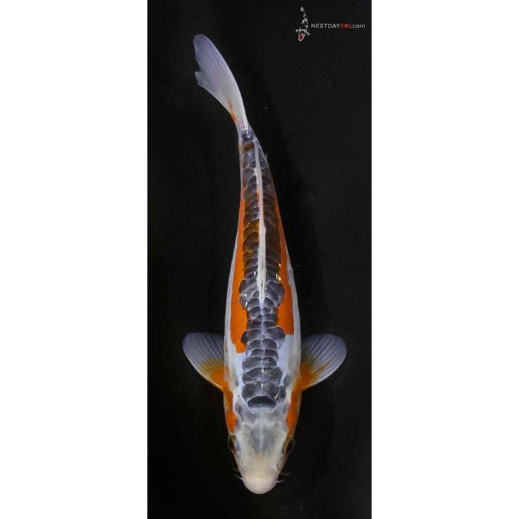 Die besten 25 koi fish for sale ideen auf pinterest for Shusui koi for sale