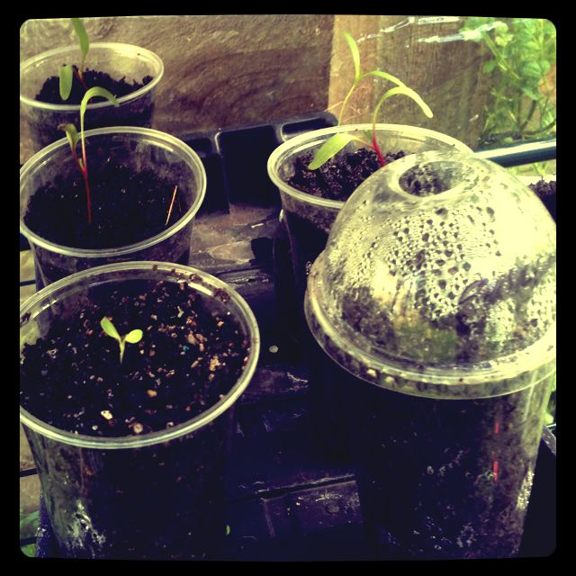 Beetroot and lettuce seedlings starting out in the green house.
