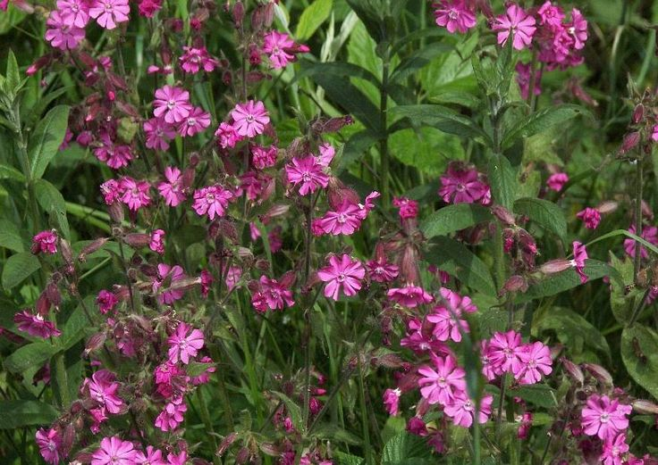 Silene Dioica 01 Auch Melandrium Rubrum Rote Lichtnelke Wiesenblume am Strassenrand