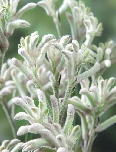 Kangaroo Paw 'Bush Diamond' - white kangaroo paw, limited availability in short…