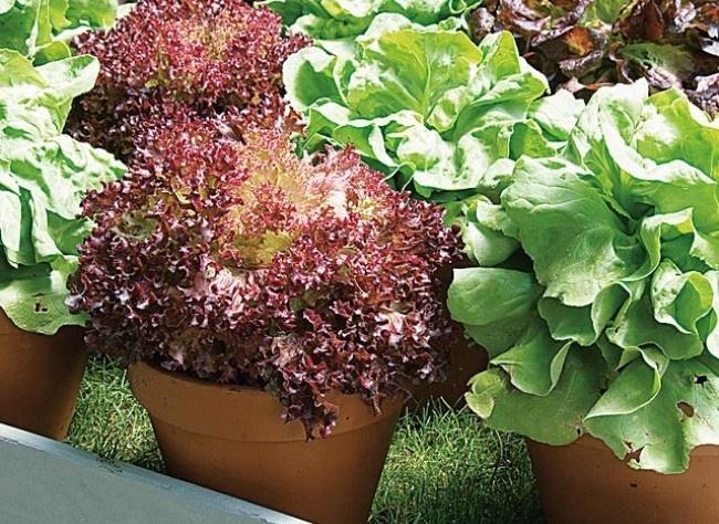 Conseils cultiver laitue en pot